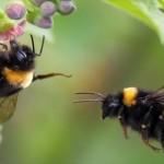 Bumble_bee